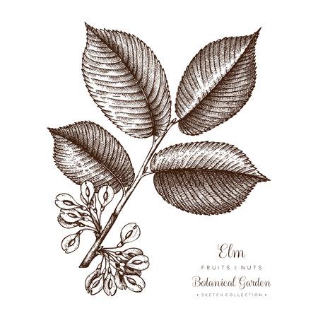 Ilustración botánica del olmo americano. Vector dibujado a mano conjunto de bocetos de hojas y nueces. Dibujo de árbol de otoño.