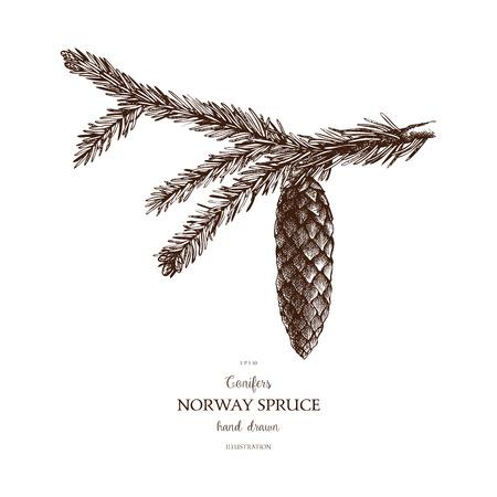 Ilustracja rocznika jodły. Ręcznie rysowane szkic świerk pospolity na białym tle. Wektor drzewo iglaste.