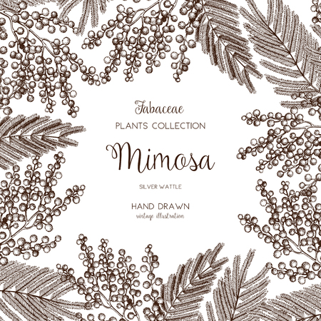 Vector card or invitation design with hand drawn Mimosa flowers. Vintage frame with silver wattle sketch on white background. Floral wedding or women's day template. The 8 of March