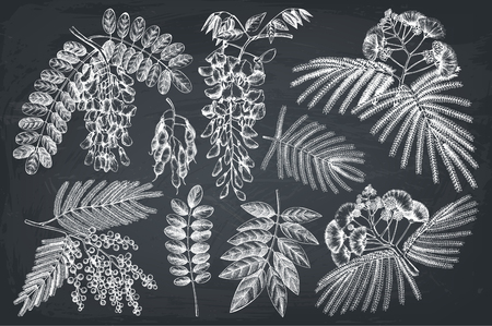 Vector collection of hand drawn blossomed Fabaceae plants. Vintage illustration on Wisteria, Silver wattle, Albizia, Black