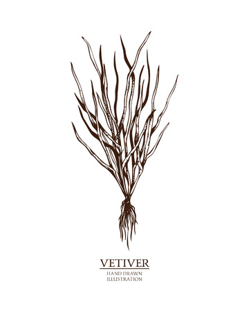 Ink hand drawn vetiver isolated on white background. Vector illustration of highly detailed aromatic plant. Perfumery ingredient and materials.