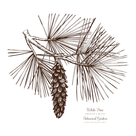 White Pine botanical illustration. Vintage conifer tree sketch. Hand drawn vector.