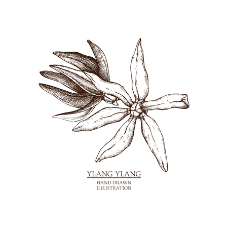 Vector hand drawn illustration of cananga tree - ylang-ylang. Tropical plant from the Indonesia, Malaysia and the Philippines. Perfumery and cosmetics materials sketch.