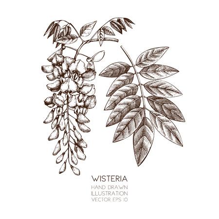 Handgezeichnete Wisteria-Blumenillustration. Vektor blühte Baumskizze auf weißem Hintergrund. Vintage botanische Illustration.