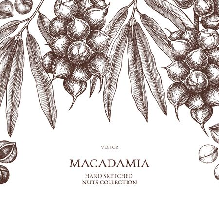 Macadamia vector design. Hand drawn food template. Nut trees sketches. Organic vegetarian product. Illustration