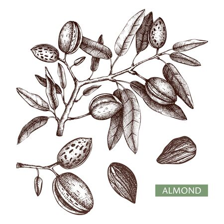 Almond vector illustrations. Hand drawn food drawing. Nut trees sketches collection. Organic vegetarian product.