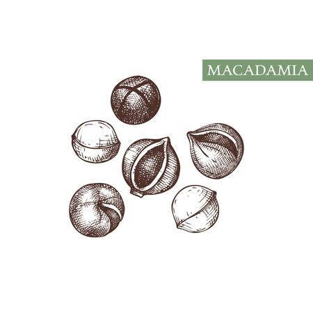 Macadamia vector illustrations. Hand drawn healthy food drawing. Nut trees sketch collection. Organic vegetarian product.