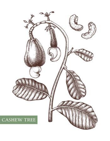 Hand drawn food drawing. Nut trees sketch collection. Organic vegetarian product. Perfect for recipe, menu, label, packaging, Vintage set with nuts, leaves, branches.  Vector illustration. Иллюстрация