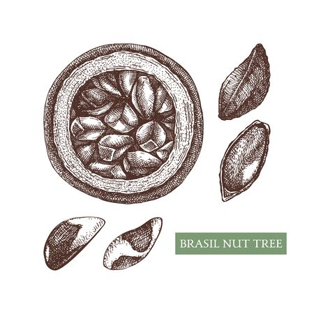 Brazil nut tree vector illustrations. Hand drawn food drawing.  Organic vegetarian product sketches. Perfect for recipe, menu, label, packaging, Vintage set of nuts, leaves, branches. Vector illustration.