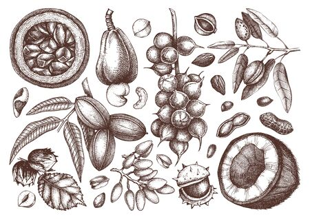 Vector nut trees and plants branches collection. Hand drawn pecan, macadamia, pine nuts, walnut, almond, pistachio, chestnut, peanut, brazil nut, hazelnut, coconut and cashew. Healthy food illustrations. Engraved style. Иллюстрация
