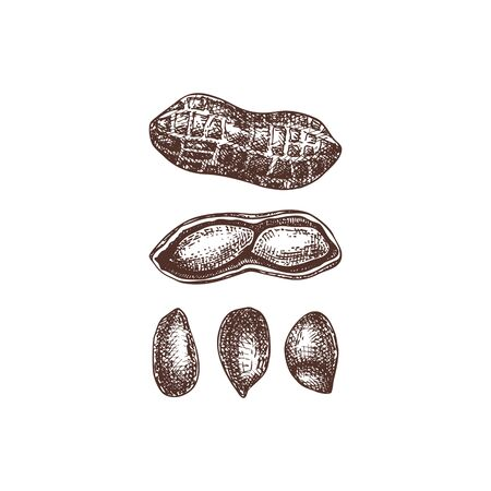 Peanut vector illustrations. Hand drawn healthy food drawing. Arachis nut sketch collection. Organic vegetarian product. Perfect for recipe, menu, label, packaging, Vintage nuts set.  Иллюстрация