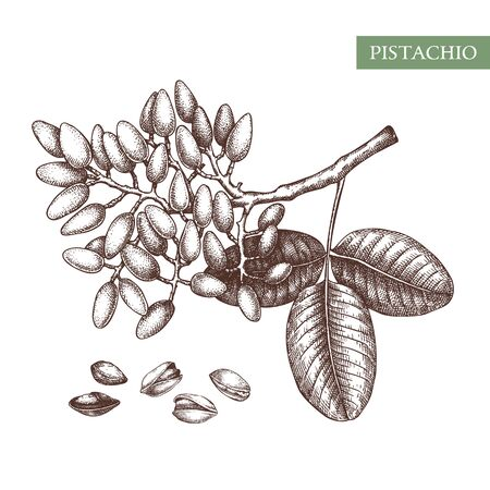 Pistachio vector illustrations. Hand drawn food drawing. Culinary Nut trees sketch collection. Organic vegetarian product. Perfect for recipe, menu, label, packaging, Vintage set with nuts, leaves, branches.