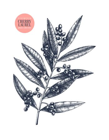 Evergreen tree with black berries. Ilustracja