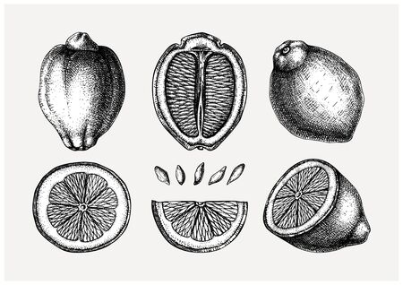 Vintage Ink hand drawn citrus fruits collection. Vector illustration of highly detailed lemons - citrus fruits sketches. Perfect for packing, greeting cards, invitations, prints etc  Ilustração