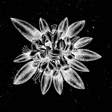Hand drawn rhododendron vector illustration. Mystic botanical illustration. Vintage high detailed flower drawing on artistic black background. Иллюстрация