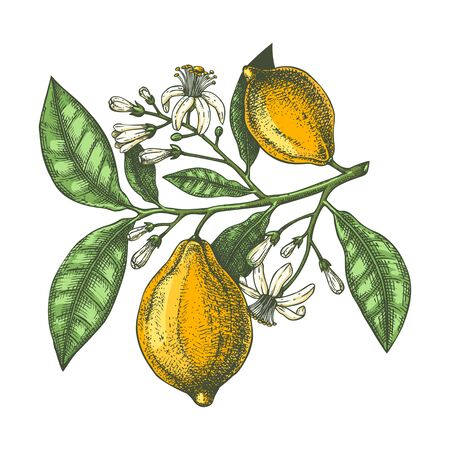 Hand drawn citrus fruits - Lemon branch. Vector sketch of highly detailed lemons tree with leaves, fruits and flowers sketches. Watercolor style citrus plants illustration. Perfect for packing, greeting cards, invitations, prints etc