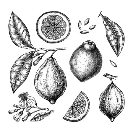 Ink hand drawn citrus fruits collection. Vector illustration of highly detailed lemons - citrus fruits, flowers, seeds, leaves, branches sketches. Perfect for packing, greeting cards, invitations, prints etc