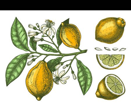 Hand drawn citrus fruits - Lemon branch. Vector sketch of highly detailed lemons tree with leaves, fruits and flowers. Citrus plants illustration on white background. Çizim