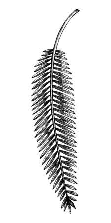 Banana palm Hand drawn tropical tree leaves on white Çizim