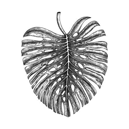 Monstera leaf vector illustration. Çizim