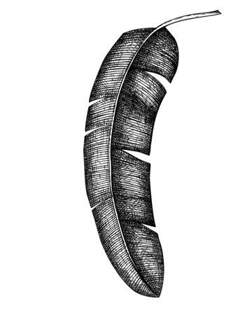 Banana palm leaf vector illustration