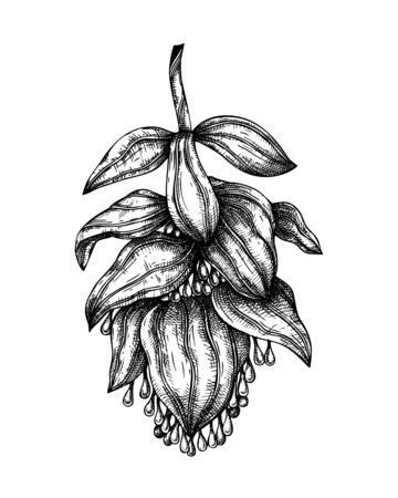 Medinilla  flower with leaves botanical  illustration. Hand drawn tropical flowering plant on white background.Exotic plant vector sketch. Tropical design element. Monstera outline.  Çizim