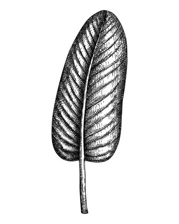 Strelitzia leaf botanical  illustration. Hand drawn tropical plant on white background. Exotic flower leaf vector sketch. Tropical design element. Bird of paradise (crane lily) outline.  Çizim