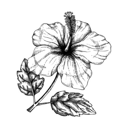 Hibiscus flower with leaves botanical illustration. Hand drawn tropical flowering plant on white background. Exotic plant vector sketch. Tropical design element. Hibiscus outline.