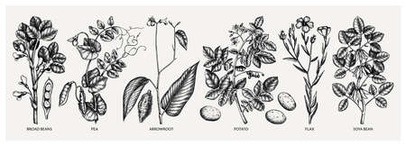 Hand drawn agricultural plants set - potato, soy, beans, pea, arrowroot, flax sketches. Vector vegetables drawing in engraved style. Healthy farm products illustration. Great for packaging, menu, label, icon.