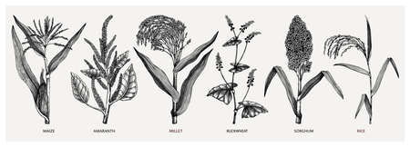 Hand drawn cereal crops set - maize, millet, sorghum, rice, buckwheat, amaranth sketches . Healthy farm plants collection. Vector vegetables drawing in engraved style. Vegetables illustrations. Great for packaging, menu, label, icon. Ilustracja