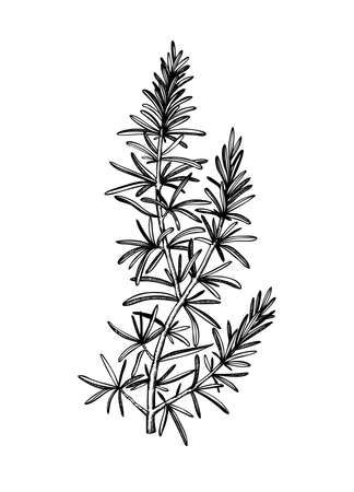 Hand sketched Rosemary illustration. Medicinal herbs design. Herbal tea ingredients. Aromatic and medicinal plants drawing. Botanical elements in engraved style.