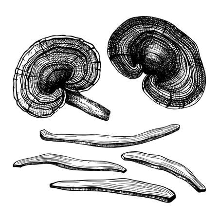 Reishi mushrooms hand-sketched illustrations set. Medicinal plant vector drawing. Adaptogenic mushroom sketches in engraved style. Dried reishi collection.