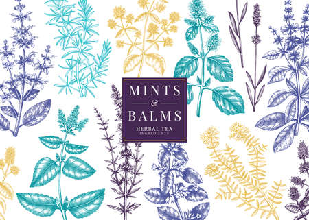 Hand-sketched Mints and Balms banner. Mints plants vector design. Medicinal herbs, summer flowers, herbal tea ingredients background. Perfect for beverages, cosmetics, perfumery.