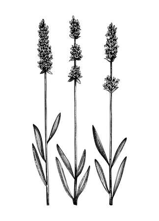 Hand sketched Lavender illustrations. Medicinal herbs collection. Vector set of vintage summer florals. Aromatic and medicinal plants drawings. Botanical elements in engraved style. Stock Illustratie