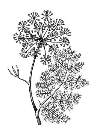 Culinary herbs - Fennel - vintage illustration. Botanical drawing in engraved style. Wild flower outline. For traditional medicine or herbal tea. Stock Illustratie