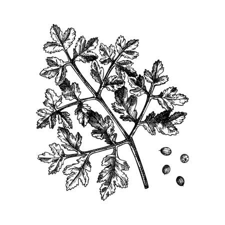 Coriander vector illustrations. Hand drawn kitchen spice drawing. Parsley sketches collection. Organic vegetarian product. Perfect for recipe, label, packaging, Vintage herbs set