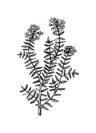 Hand sketched thyme illustration with leaves and flowers. Hand-drawn medical herbs and spices. Engraved style botanical illustration. Herbal medicine and tea ingredients