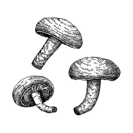 Shiitake. Adaptogenic mushroom hand drawn illustrations set. Medicinal plants sketches. Perfect for cooking, traditional medicine, vegans. Stock Illustratie