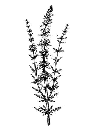 Hand sketched hyssop botanical illustration with leaves and flowers. Hand-drawn medical herbs and spices. Engraved style botanical illustration. Herbal medicine and tea ingredients Stock Illustratie
