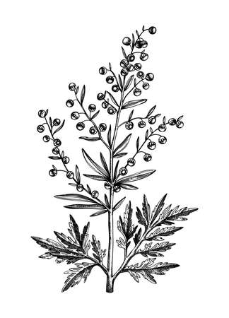 Hand sketched Wormwood illustration. Botanical drawing of Artemisia. Aromatic and medicinal plant in vintage style. Tea ingredient. Perfect for label, branding, packaging, Vintage weeds. Stock Illustratie