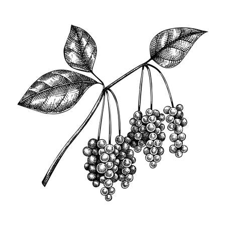 Schisandra. Adaptogenic plant illustration. Hand-sketched magnolia vine. Great for traditional medicine, perfume design, Ayurveda design. Natural adaptogen drawing. Stock Illustratie