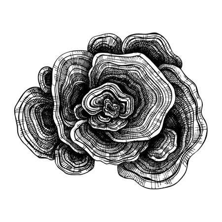 Turkey Tail drawing. Hand sketched illustration of medicinal mushroom. Natural adaptogen sketch in vintage style. Adaptogenica mushrooms drawing isolated on white. Stock Illustratie