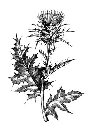 Milk thistle hand-sketched illustration. Traditional medicinal plant in vintage style. Botanical thistle drawing for herbal tea ingredients, cosmetology, and medicine.