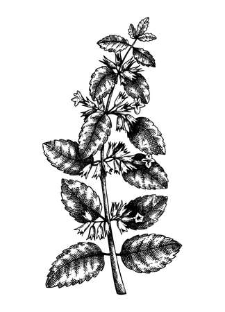 Hand sketched Lemon balm botanical illustration with leaves and flowers. Melissa - hand-drawn medical herbs and spices. Engraved style herbal plant on white background. Healthy tea ingredients