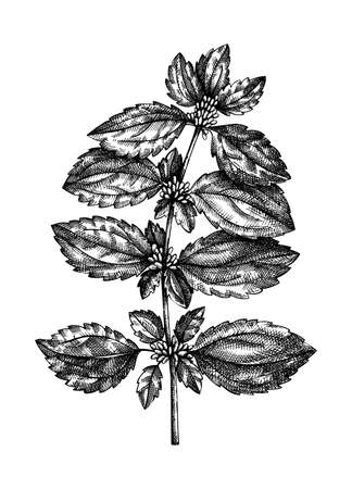 Hand-sketched Nettle illustration. Medicinal plant vector drawing in vintage style. Vintage herbs sketch or herbal tea ingredients, cosmetology, and traditional medicine. Vector summer flower.
