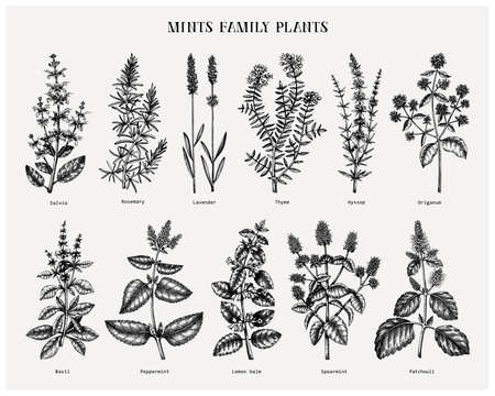 Mint family plants illustrations. Hand sketched aromatic and medicinal herbs set. Botanical design elements. herbal tea ingredients. Mints. Perfect for recipe, label, packaging. Stock Illustratie