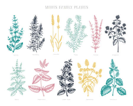 Mint family plants illustrations in color. Hand sketched aromatic and medicinal herb Botanical design elements. Herbal tea ingredients. Mints in vintage style. Perfect for recipe, label, packaging.