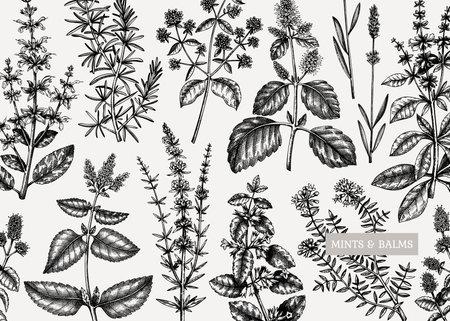 Mints design. Hand sketched mints plants background. Vintage herbs, leaves, flowers hand drawings design. Perfect for recipe, menu, label, packaging. Herbal tea template. Botanical illustration.