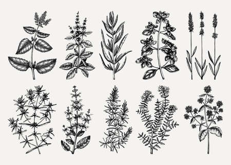Traditional Provence herbs collection - savory, marjoram, rosemary, thyme, oregano, lavender. Ilustracja