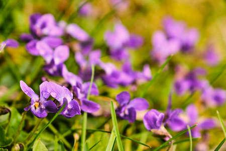 Beautiful blooming violet (viola odorata) flower in green on garden macro